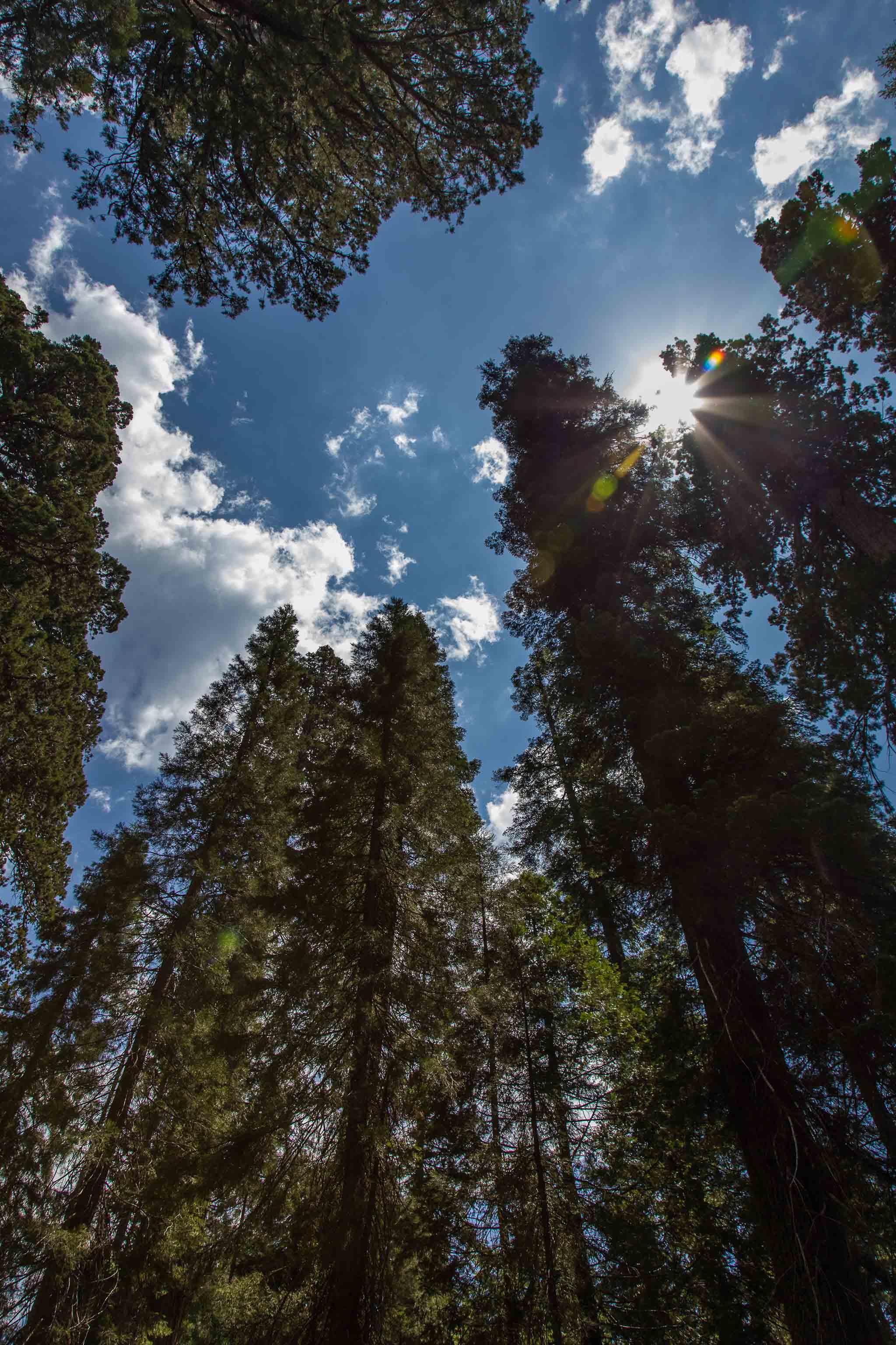 Towering Redwoods of Yosemite