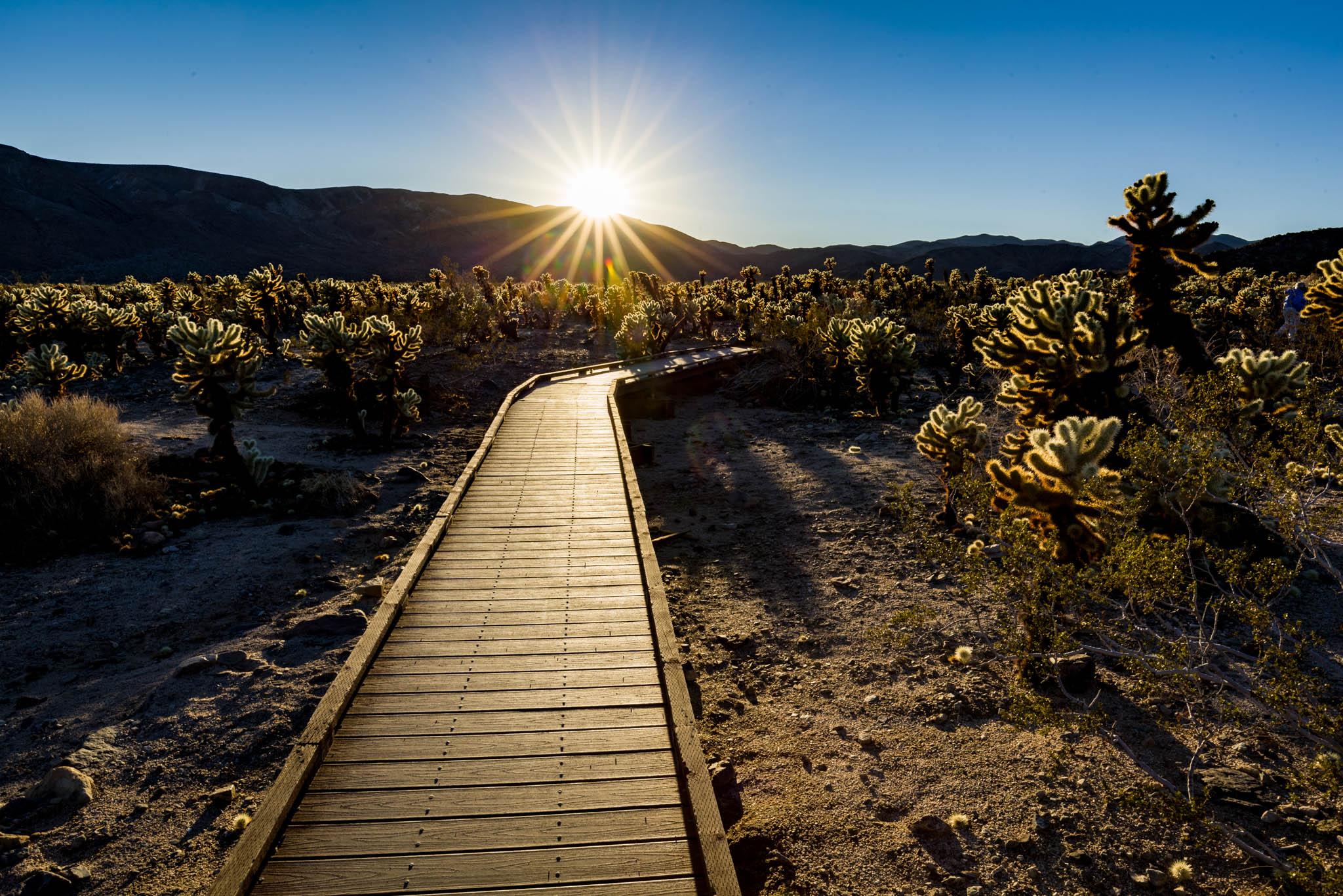 Path among the Cholla Cacti