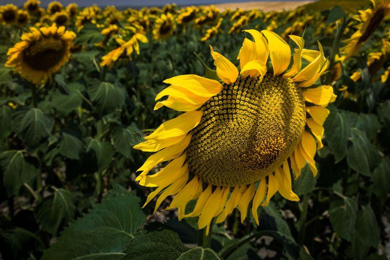 Spanish Sunflowers